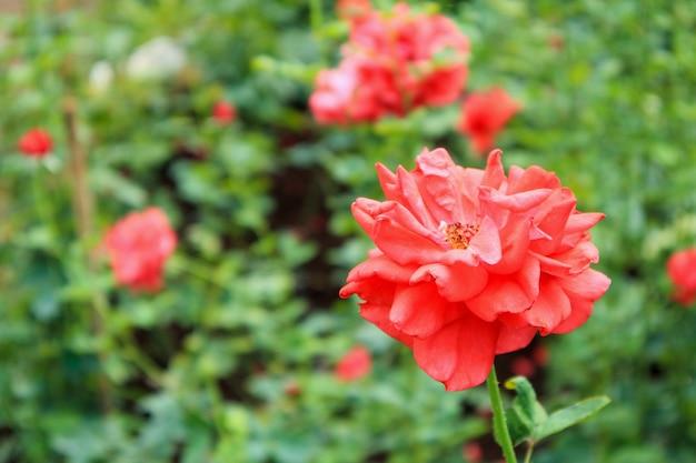 Mooie rode rozen in bloementuin