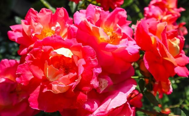 Mooie rode rozen in de tuin in zonnige dag midzomer