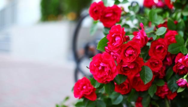 Mooie rode rozen in de tuin