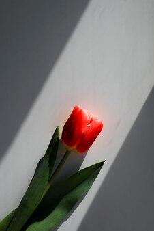 Mooie rode tulp, bovenaanzicht. een zonnestraal, schaduwen. minimalistische verticale foto, kopieer ruimte