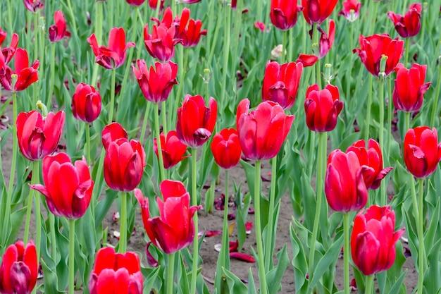 Mooie rode tulpen, darwin hybride rode tulpen in een bloembed. de rode bloei van de tulpenbloem op de rode achtergrond van tulpenbloemen.
