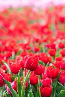 Mooie rode tulpen die in het park met dauwdruppels bloeien