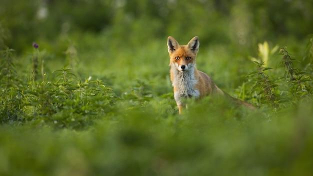 Mooie rode vos met pluizige vacht die zich in het hoge groene netellandschap bevindt