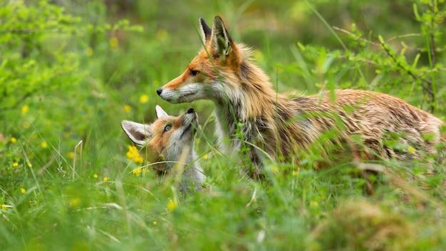 Mooie rode voswelp die zich onder moeder verstopt en met kleine neus in bos snuift