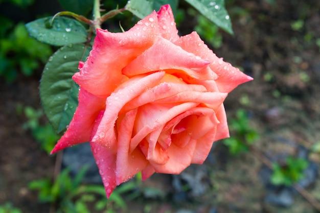 Mooie roos in de tuin