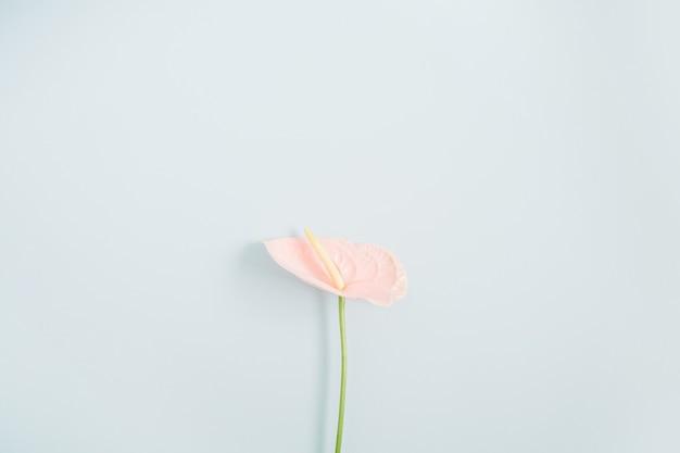 Mooie roze anthuriumbloem die op bleek pastelkleurblauw wordt geïsoleerd