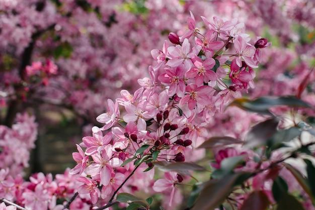 Mooie, roze bloeiende appelboom in de lentetuin