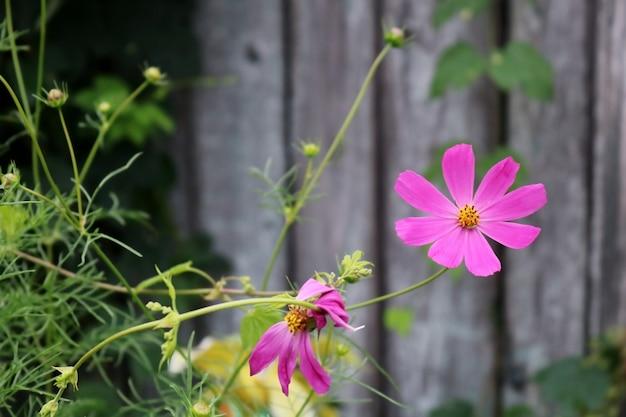 Mooie roze bloem op houten hek met groene planten