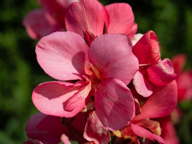 Mooie roze bloem van cannes met enorme knoppen