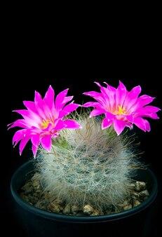 Mooie roze bloem van mammillaria-cactus in plantpot