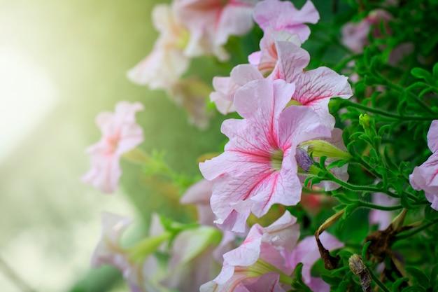 Mooie roze bloemen in de tuin.