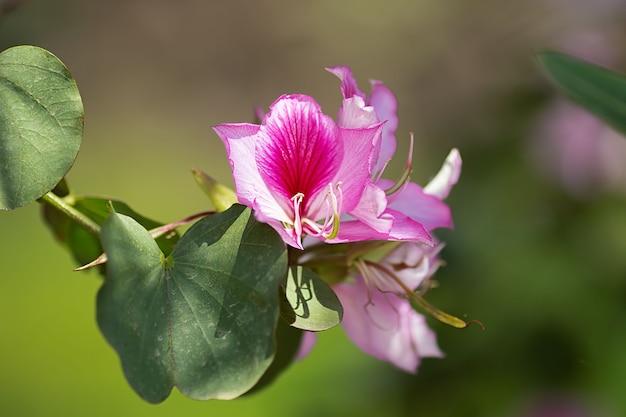 Mooie roze bloemen van een bloeiende lenteboom in het park