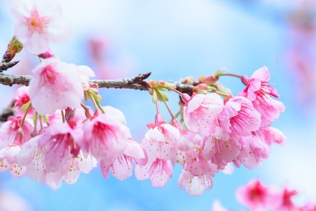 Mooie roze cherry blossom of sakura-bloem die in blauwe hemel op aardachtergrond bloeien