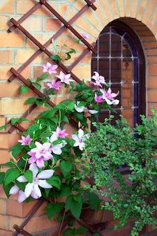 Mooie roze clematis kronkelt rond de gevel