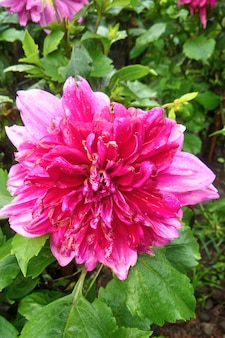 Mooie roze dahlia bloem in indonesië