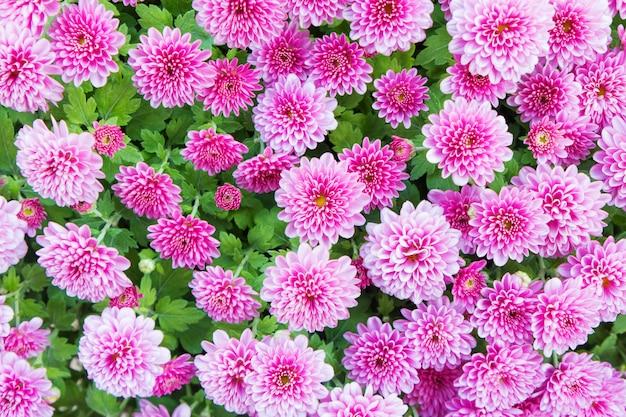 Mooie roze dahlia voor achtergrond