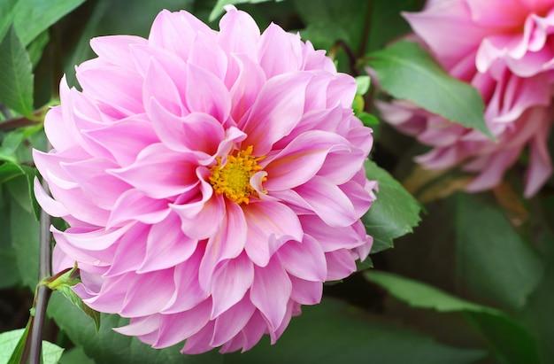 Mooie roze dahliabloem die in de tuin bloeien.