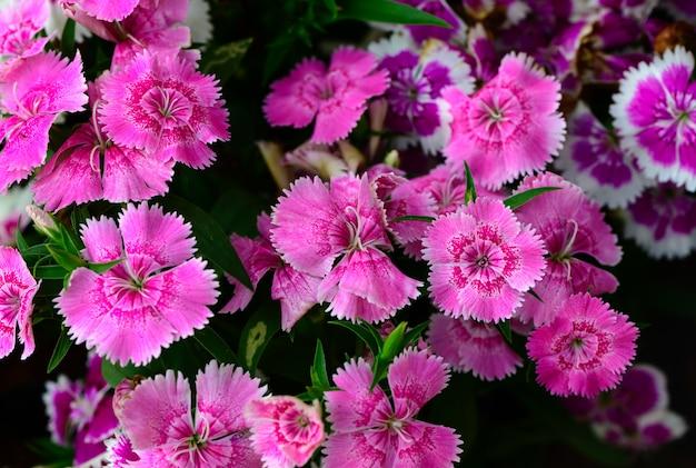 Mooie roze dianthus-bloem in tuin,