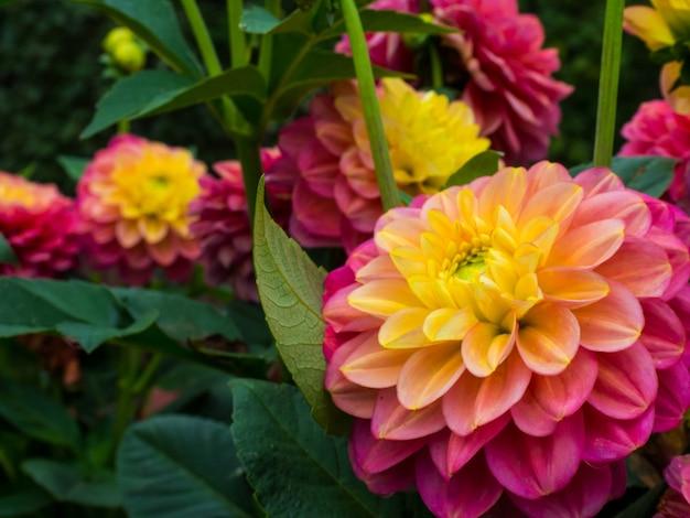 Mooie roze en gele dahlia's in bloei in zonlicht, mooie bloemenachtergrond
