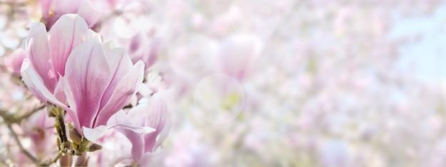 Mooie roze en witte magnolia bloem in een panoramisch formaat