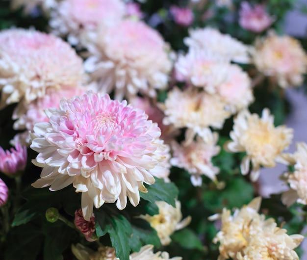 Mooie roze en witte tot bloei komende chrysantbloemen als achtergrondbeeld.