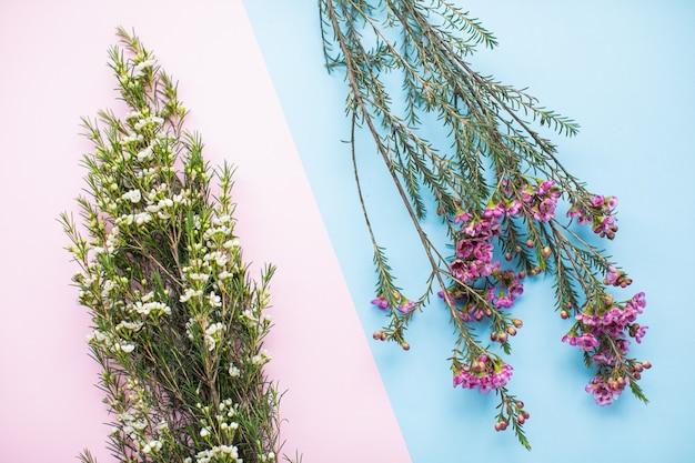 Mooie roze en witte waxflower op veelkleurige papieren achtergronden met kopie ruimte. lente, zomer, bloemen, kleurenconcept, vrouwendag.