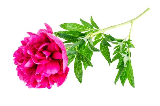 Mooie roze geïsoleerde pioenbloem