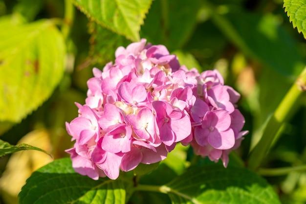 Mooie roze hortensia of hortensia in zonnige dag. zomerbloemen