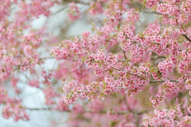 Mooie roze kersenbloesem of sakurabloem die in blauwe hemel op aardachtergrond bloeien