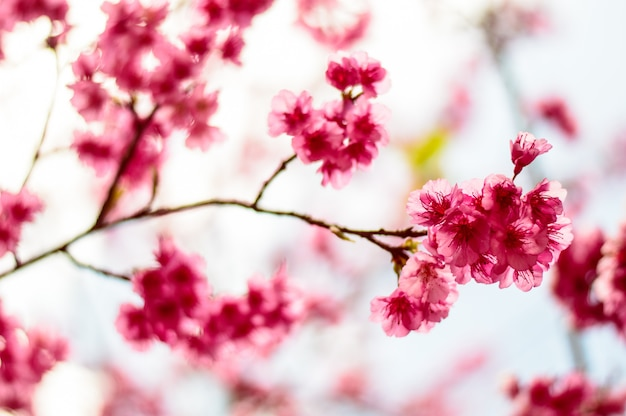 Mooie roze kersenbloesem