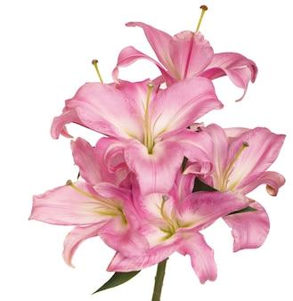Mooie roze lelie, geïsoleerd op het wit
