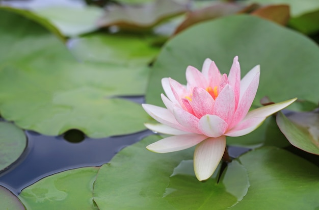 Mooie roze lotus-bloem in vijver, close-upwaterlelie en blad in aard.