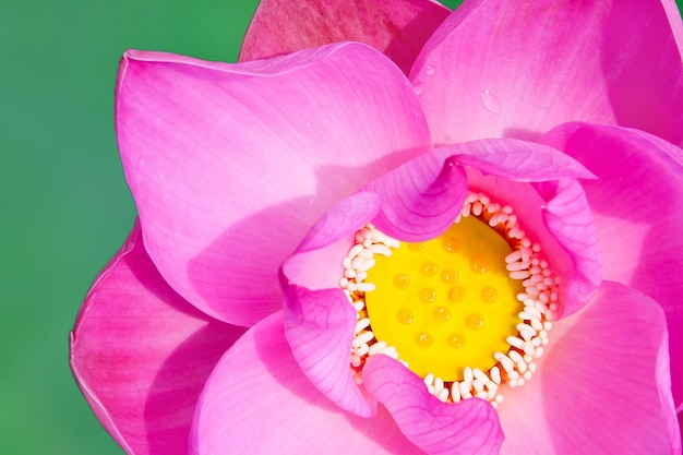 Mooie roze lotusbloem.