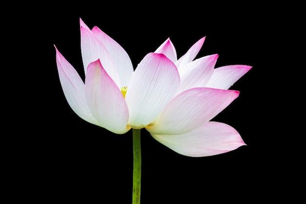 Mooie roze lotusbloembloem die op zwarte wordt geïsoleerd.
