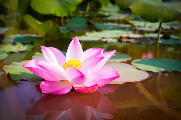 Mooie roze lotusbloembloem met groene bladeren in de natuur