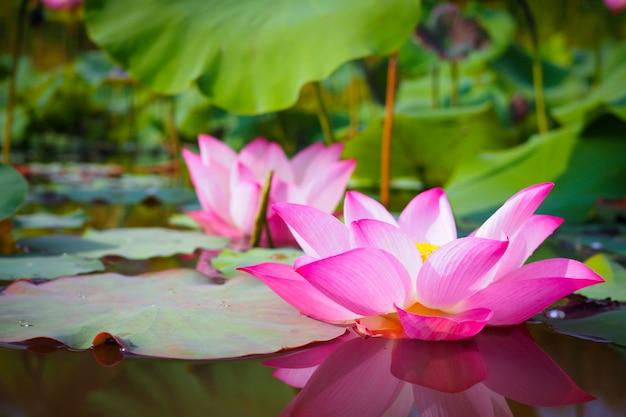 Mooie roze lotusbloembloem met groene bladeren in rivieraard