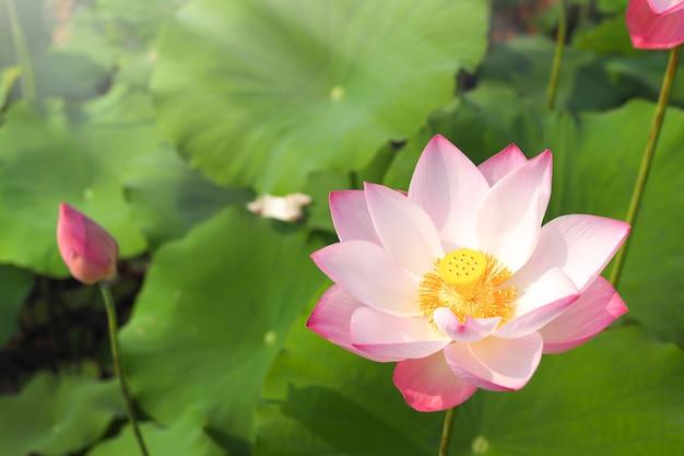 Mooie roze lotusbloembloem met groene bladerenaard in rivier