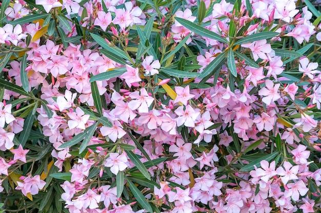 Mooie roze nerium oleander bloemen op heldere zomerdag. natuur