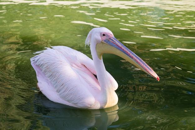 Mooie roze pelikaan die in vijver zwemt