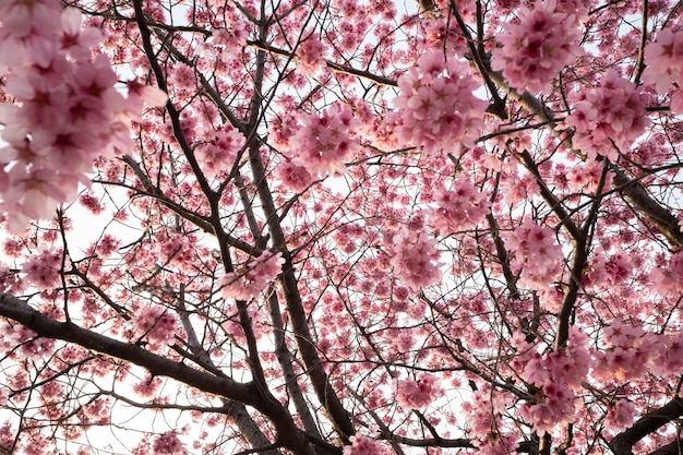 Mooie roze perzikboom bloesem