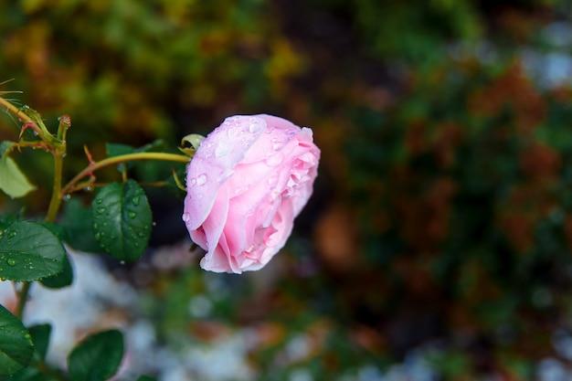 Mooie roze pioen roos in een close-up van de tuin