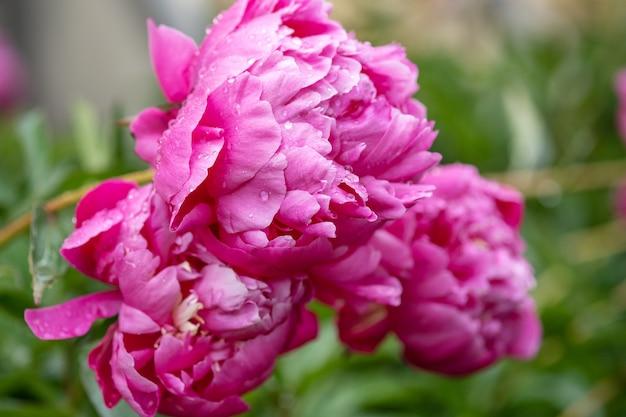 Mooie roze pioenrozen in de tuin