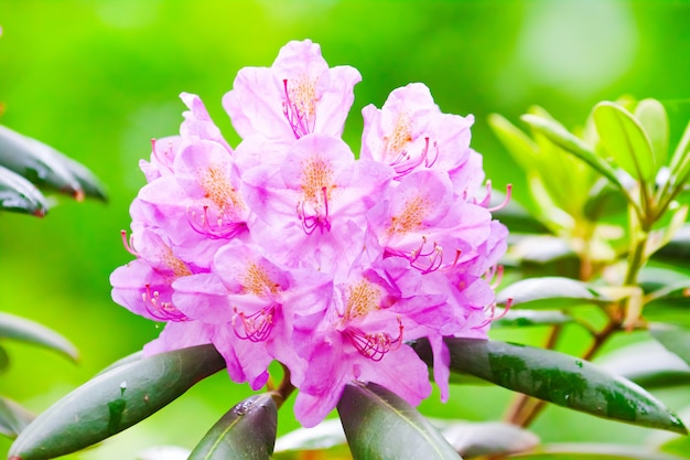 Mooie roze rododendron bloemen