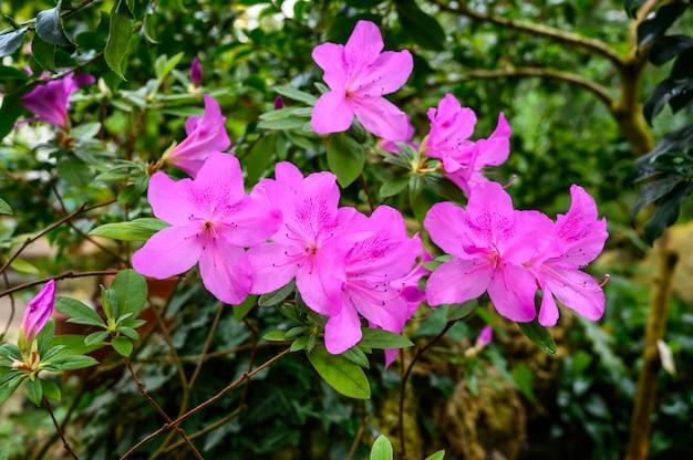 Mooie roze rododendron. mooie bloemen. mooie bloemen in een prachtige tuin