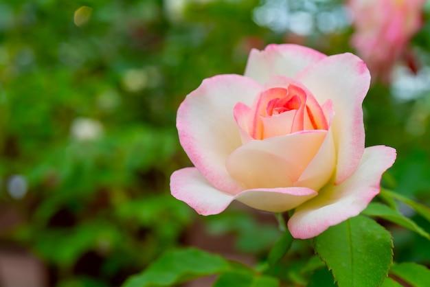 Mooie roze roos. een sierplant die in de tuin wordt gekweekt.