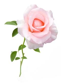 Mooie roze roos geïsoleerd op een witte achtergrond