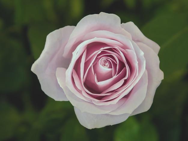 Mooie roze roos in de tuin.