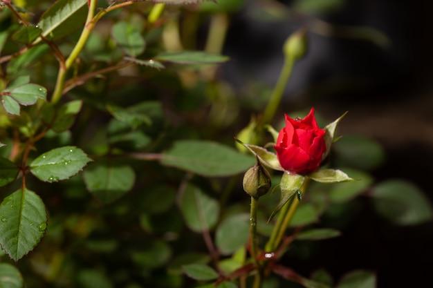 Mooie roze roos in een tuin