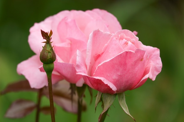 Mooie roze roos in een zomertuin