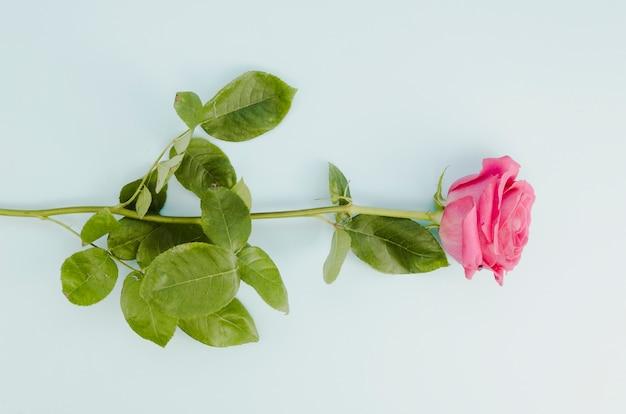 Mooie roze roos in platte laag